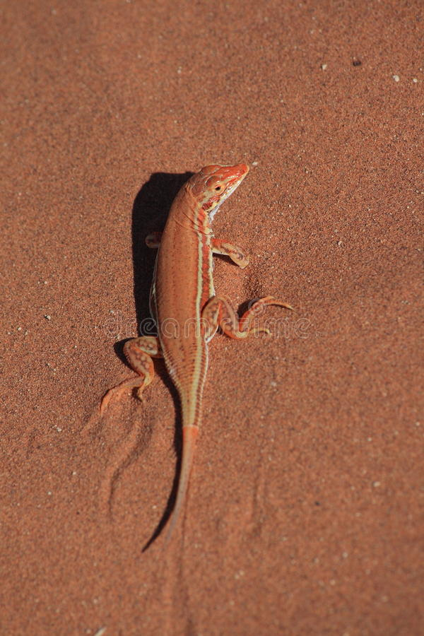 Red sand lizard royalty free stock photography