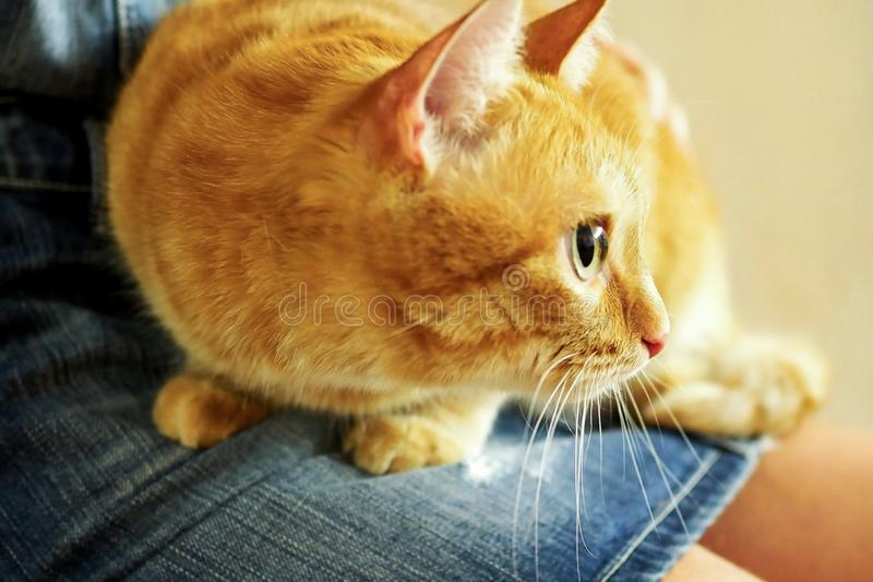 Red scared cat sits on the girl`s lap stock image