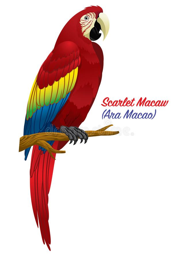 Red scarlet macaw bird vector illustration