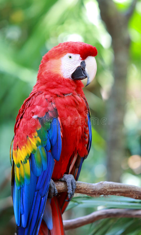 Red scarlet macaw. A red scarlet macaw resting over a branch royalty free stock image