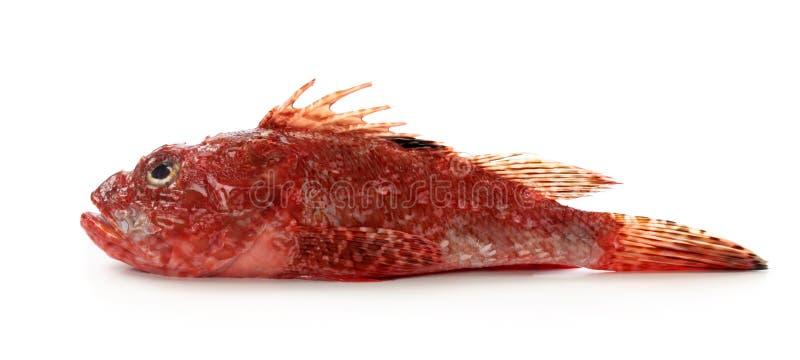 Download Red scorpionfish stock image. Image of white, scorpionfish - 23524143