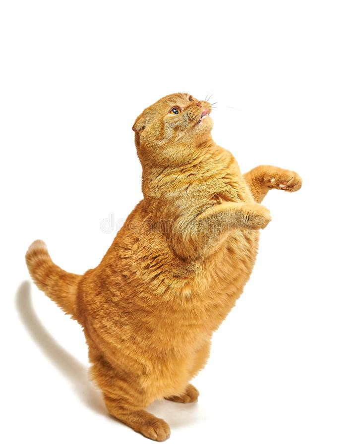 Red scottish fold cat stands like a gopher on a white background royalty free stock image