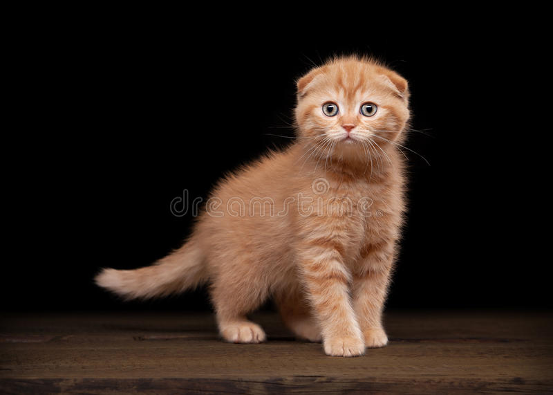 Red scottish fold kitten on table with wooden texture. Small red scottish fold kitten on table with wooden texture royalty free stock photos