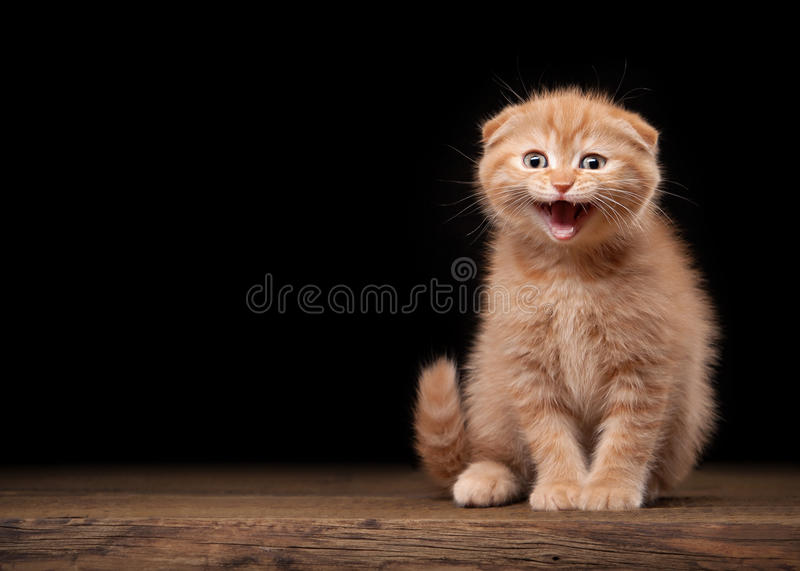 Red scottish fold kitten on table with wooden texture. Small red scottish fold kitten on table with wooden texture stock photography