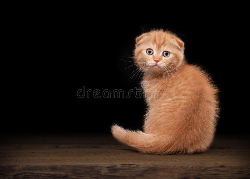 Red scottish fold kitten on table with wooden texture. Small red scottish fold kitten on table with wooden texture royalty free stock photo