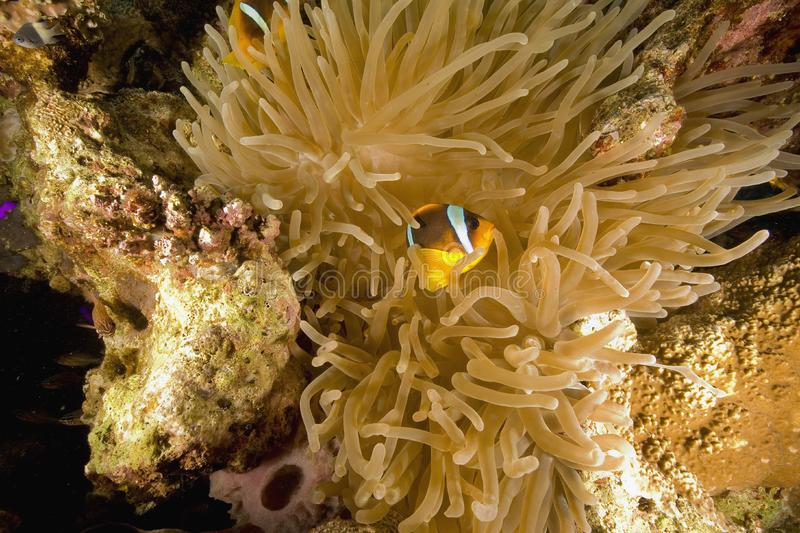 Download Red Sea Anemonefish (Amphipiron Bicinctus) Stock Image - Image: 6482571
