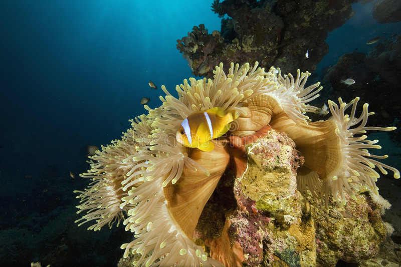 Red sea anemonefish and bubble anemone stock images