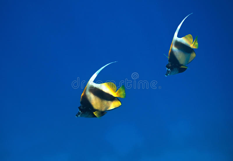 Download Red sea bannerfish stock image. Image of fauna, water - 14417279