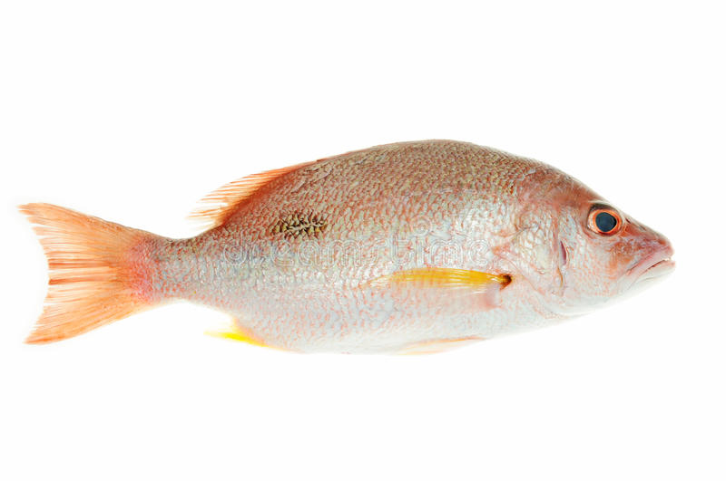 Red Sea Bream. Fish Isolated On White Background stock images