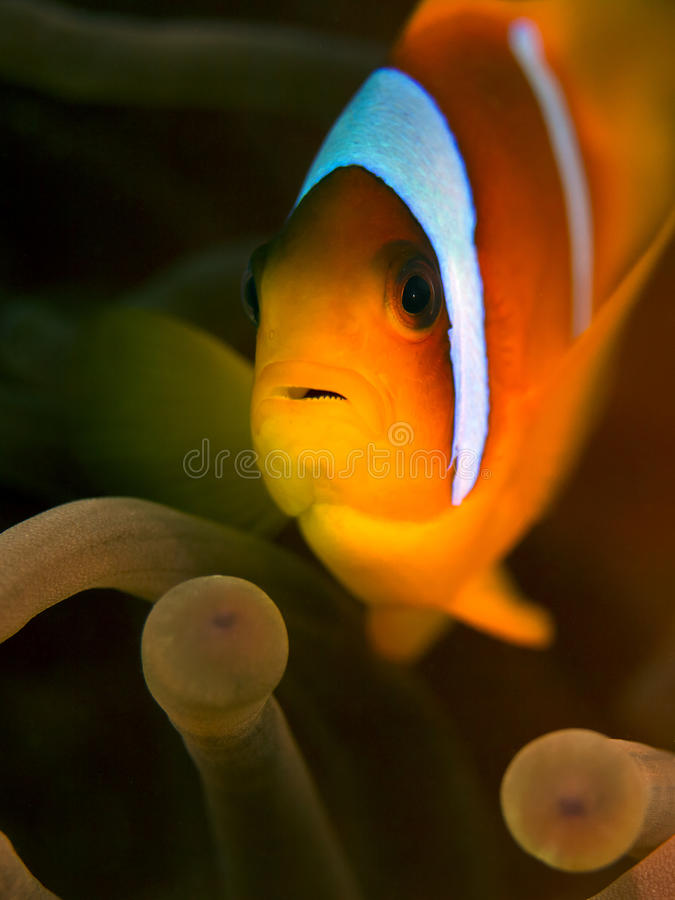 Red Sea Clownfish - Anemone Fish. A anemone-fish hiding in its anemone in the Red Sea of Egypt stock images