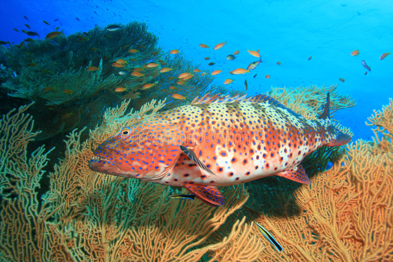 Red Sea Coral Grouper. (Plectropomus pessuliferus) beside a Giant Sea Fan Coral stock photography