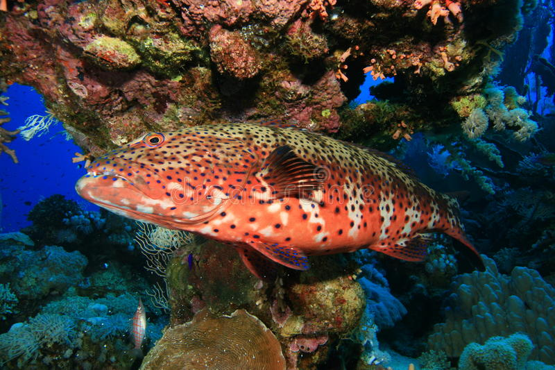 Red Sea Coral Grouper. (Plectropomus pessuliferus) on a reef stock photo