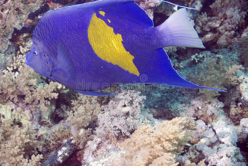 Download Red Sea Coral Grouper (plecropomus Pessuliferus) Stock Image - Image: 4081373