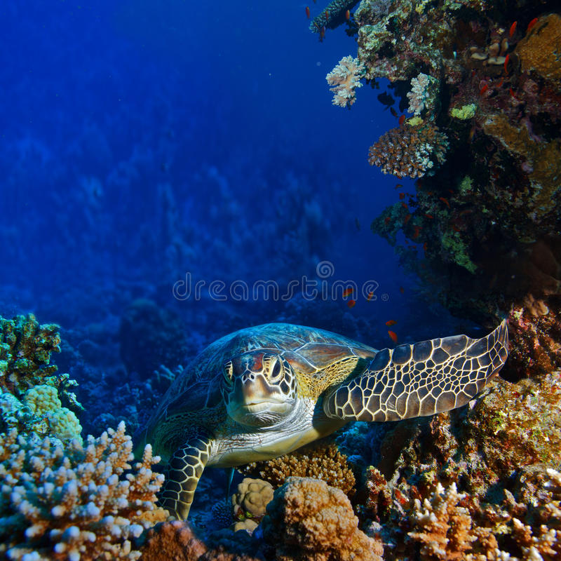 Download Red Sea Diving Big Sea Turtle Sitting Between Corals Stock Photo - Image: 28259792