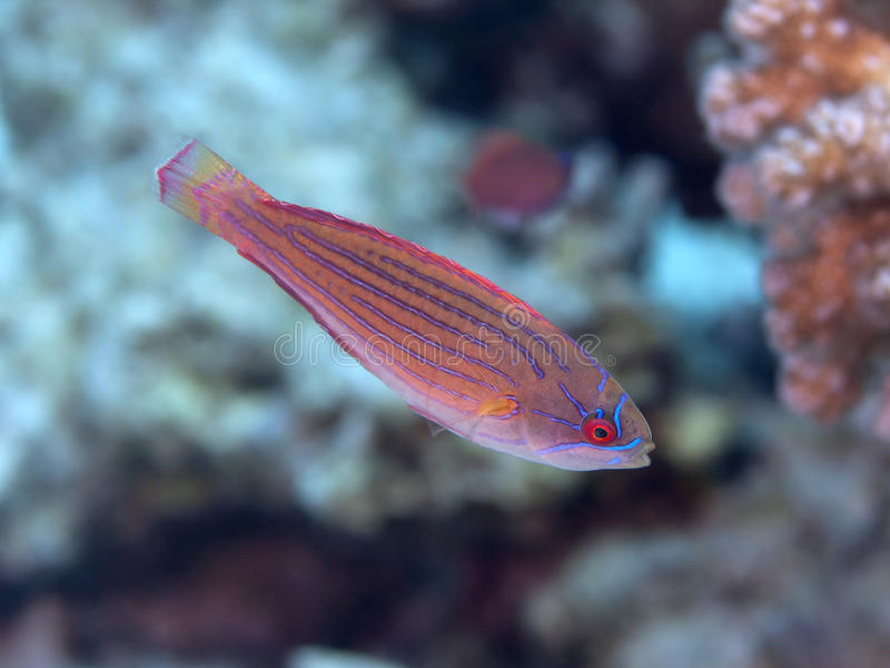 Red sea flasher wrasse. Fish red sea flasher wrasse stock photo