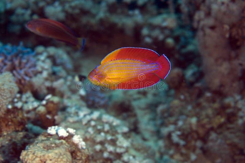 Red sea flasher wrasse (paracheilinus octotaenia) royalty free stock photos