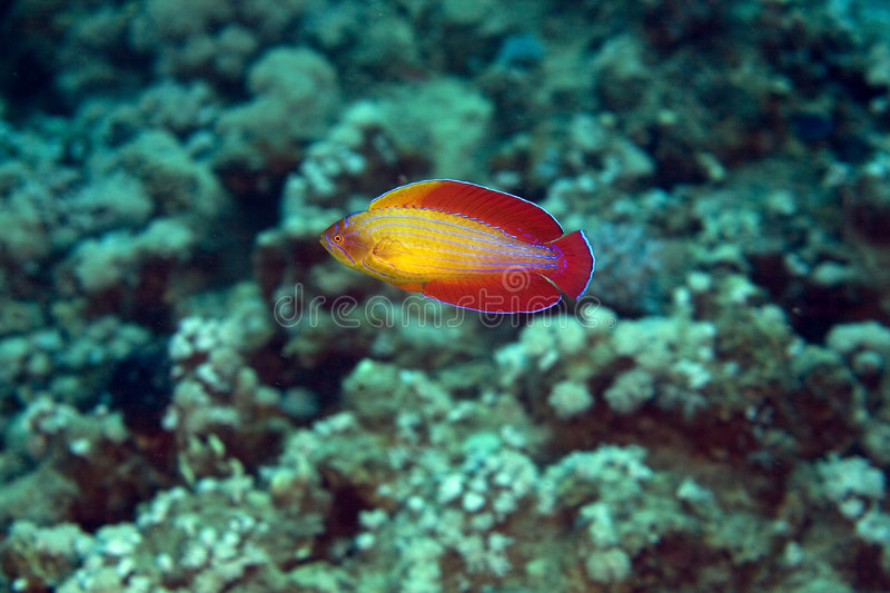 Download Red Sea Flasher Wrasse (paracheilinus Octotaenia) Stock Photo - Image: 5024858