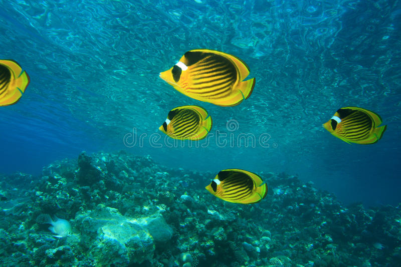 Download Red Sea Raccoon Butterflyfish Royalty Free Stock Photo - Image: 12911495