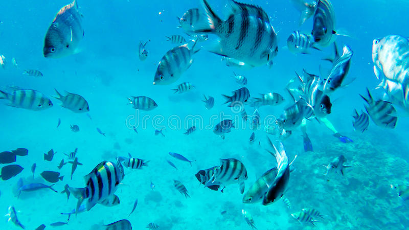 Red sea reef tropical fishes underwater stock image