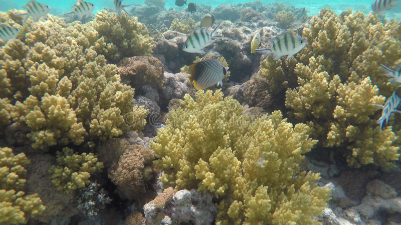 Red sea reef tropical fishes underwater stock photos