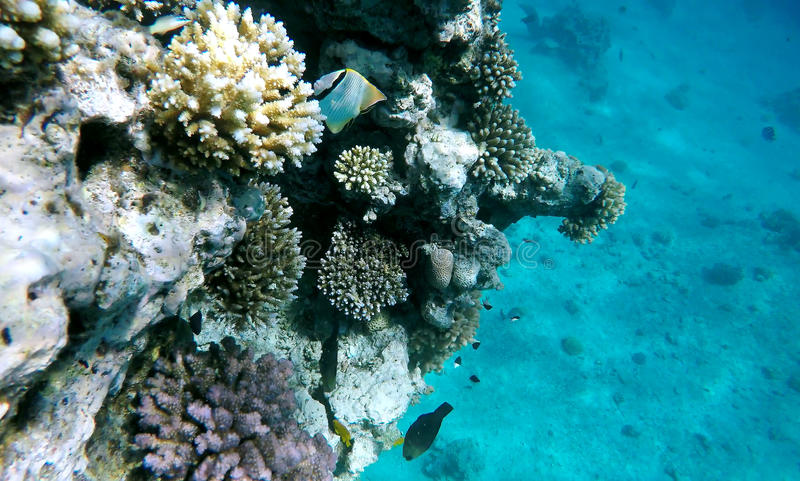 Red sea reef tropical fishes underwater stock photo