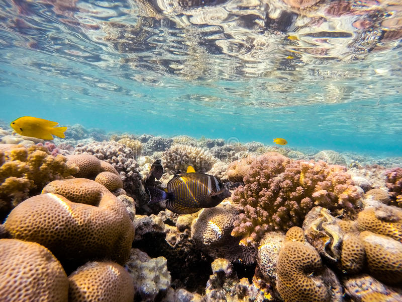Red Sea sailfin tang fish on coral garden in red sea, Egypt royalty free stock image