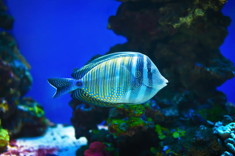 Red sea sailfin tang fish simming on stone reef background stock photography
