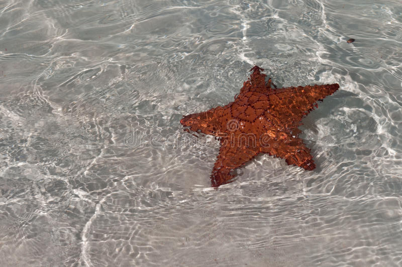 Download Red sea star in Cuba stock image. Image of seastar, archipelago - 18913741