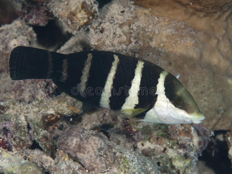 Red sea thicklip wrasse. Fish red sea thicklip wrasse royalty free stock photo