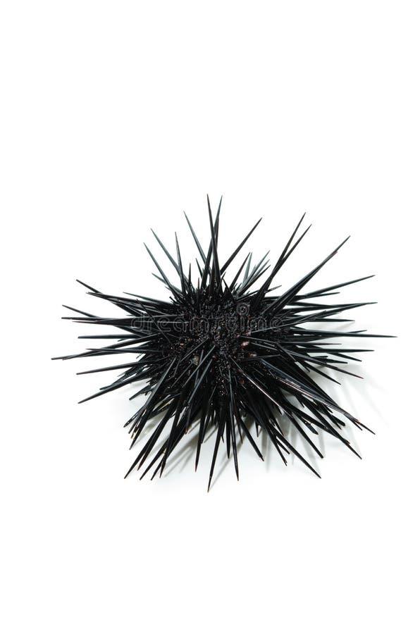 purple sea urchin stock image