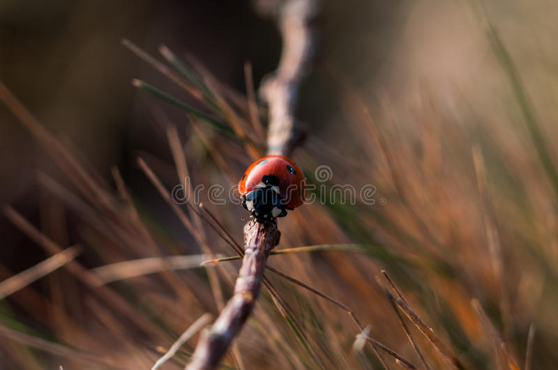 Download Red Seven Spotted Ladybird Perched On Brown Tree Branch In Close Up Photography During Daytime Stock Photo - Image of insect, nature: 83017154