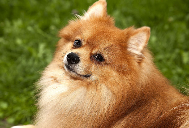 Red shaggy dog lying on green grass handsome purebred Spitz's fa. Vorite kind royalty free stock photo
