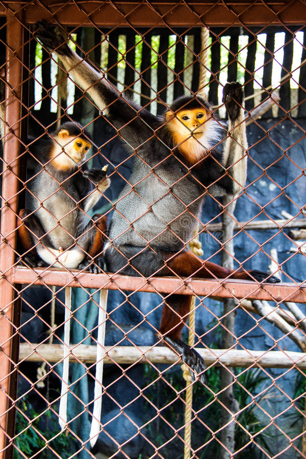 Download Red-Shanked Douc Langur stock photo. Image of closeup - 39508306