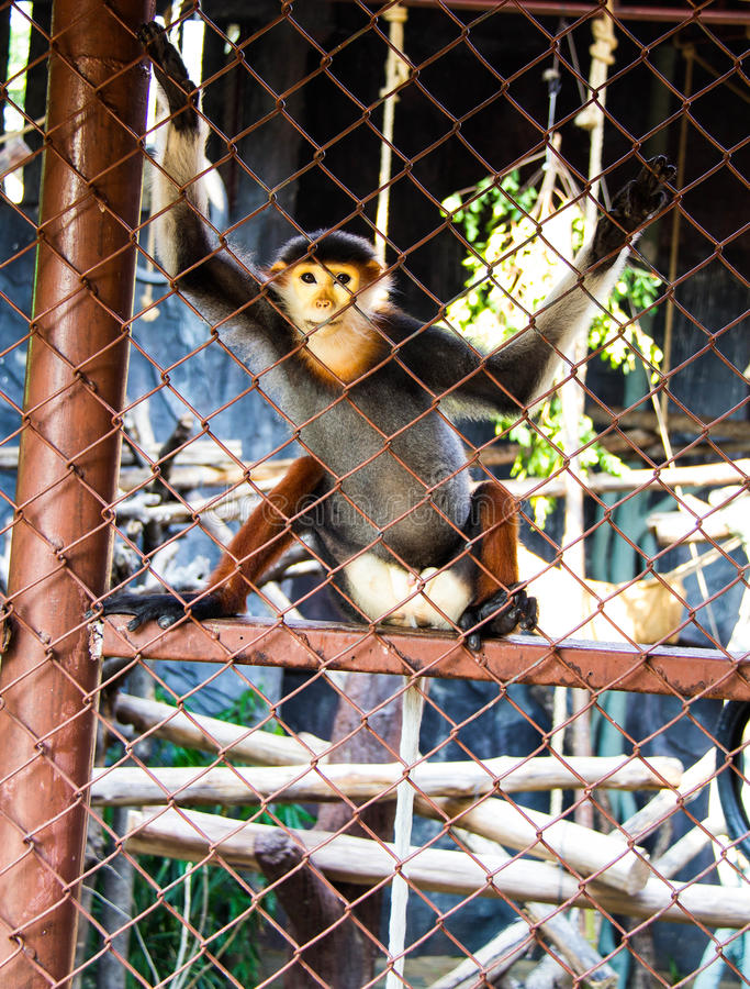 Download Red-Shanked Douc Langur stock photo. Image of asia, hair - 39508322