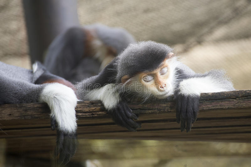 Red-shanked douc langur sleeping royalty free stock photo