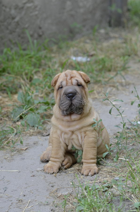 Red Sharpei puppy royalty free stock photography