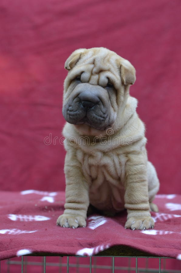 Red Sharpei puppy stock photos