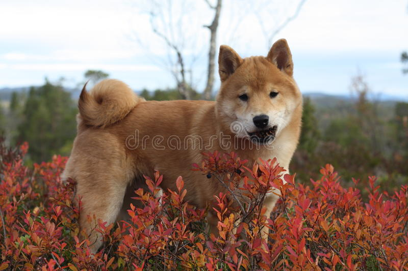 Red shiba inu puppy in Norway autumn colors royalty free stock image