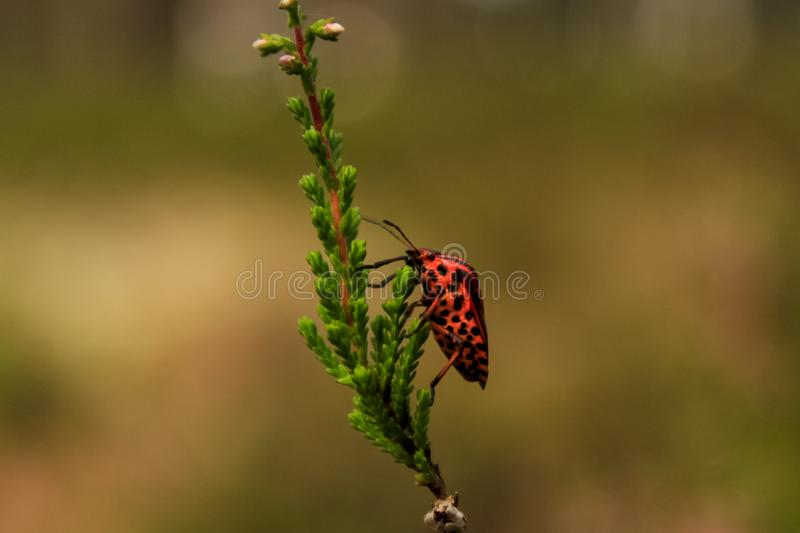 Red shield stripped bug in brown background stock photos