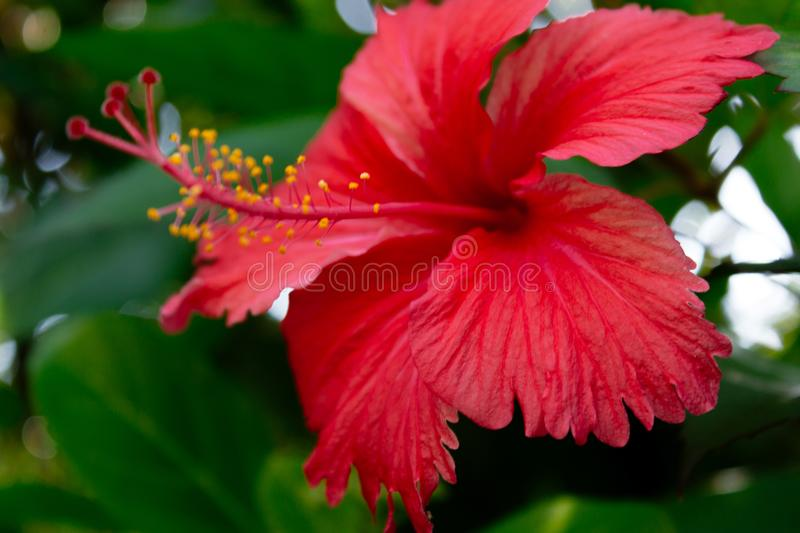 Red Shoe Flower or Hibiscus rosa-sinensis Chinese and Hawaiian hibiscus, China rose - Sri lanka. Sri Lanka national flowers - the red Shoe Flower or Hibiscus stock photography