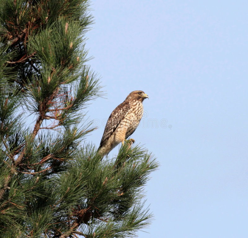 Free Red Shouldered Hawk Royalty Free Stock Photos - 1651668