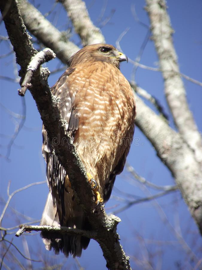 A red-shouldered hawk or bird of prey stock photography