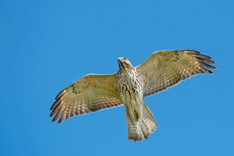 Red-shouldered Hawk. Juvenile Red-shouldered Hawk flying across a clear blue sky. Rosetta McClain Gardens, Toronto, Ontario, Canada stock photos