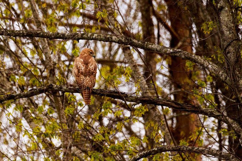 Break Time. A Red Shouldered Hawk Resting on a tree limb at the Bald Knob Wildlife Refuge in Bald Knob, Arkansas 2017 royalty free stock photos