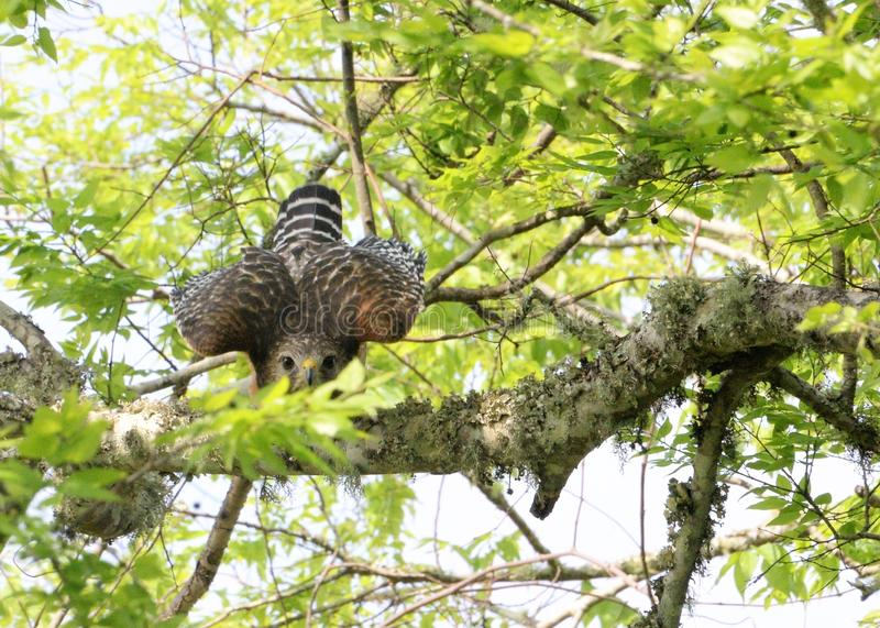 The Red Shouldered Hawk stares at the passersby below as if to warn him away. It worked. The Hawk perches on the thick tree limb while eying the person below stock images