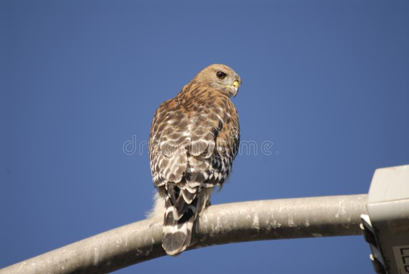 Red Shouldered Hawk Watch. Ing from a street light near the Palo Alto Baylands. Near an airport, hawks and other birds pose a danger to aircraft stock photos