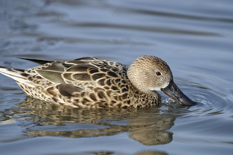 Red Shoveler. Duck - Anas platalea Female on water with reflection stock images