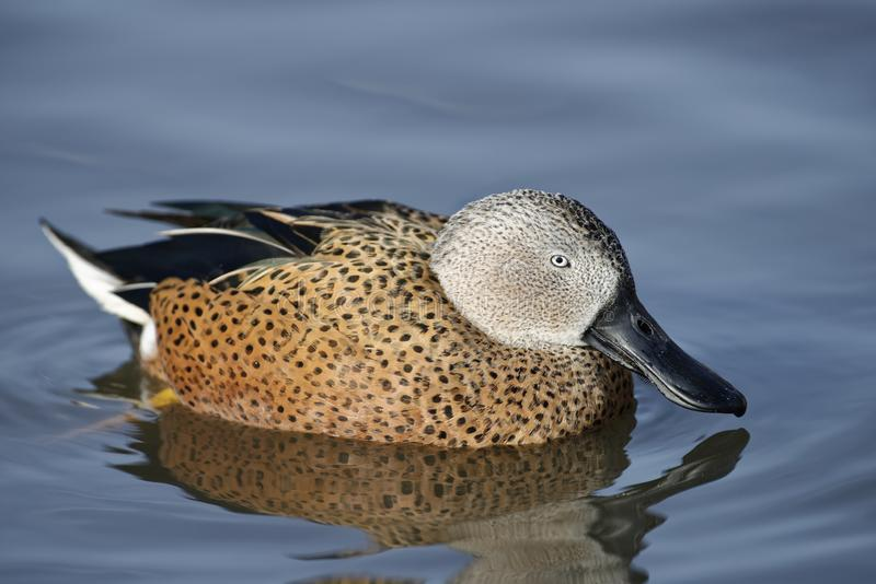 Red Shoveler. Duck - Anas platalea Male on water with reflection royalty free stock photography