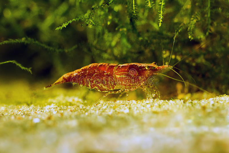 Red shrimp in a aquarium. Red shrimp. Female. royalty free stock images