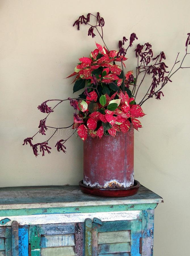 Red Shrub. In red metal can on colorful wood cabinet stock photography